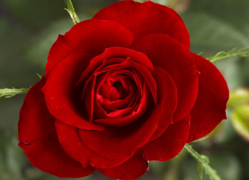 """Hoa hồng kiều diễm - """"nữ vương của các loài hoa"""""""