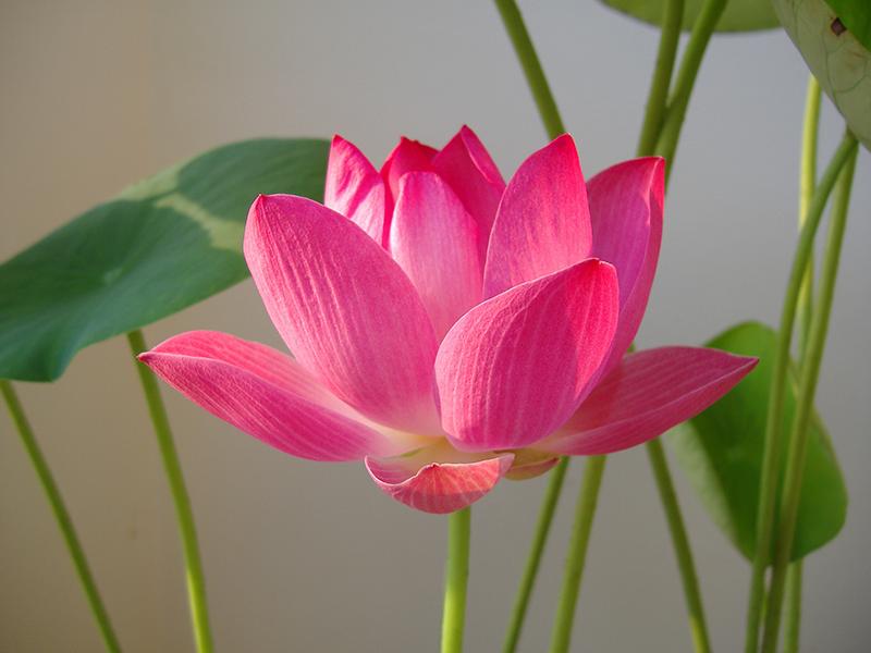 Quốc hoa Việt Nam tinh khiết, thanh thoát giữa lòng bùn đất