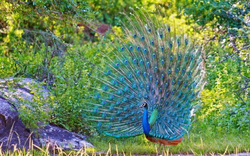 Chim công có bộ lông đuôi rực rỡ, nhiều màu sắc