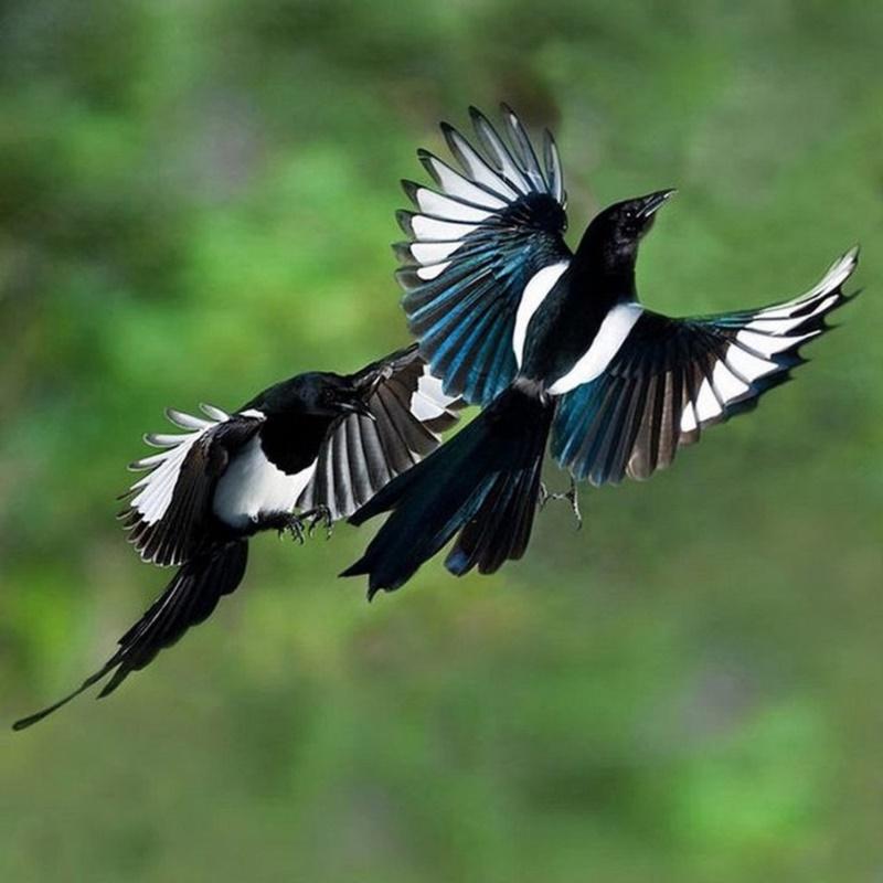 Chim hỷ tước có tiếng kêu to và khàn