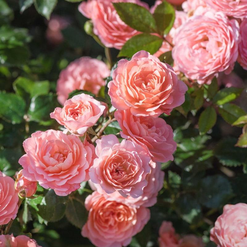 tranh treo phòng ngủ về hoa hồng
